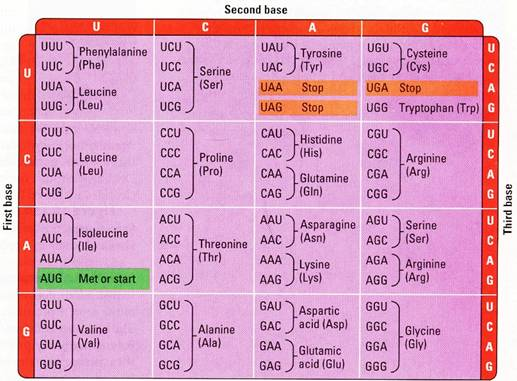 list of amino acids and their functions pdf