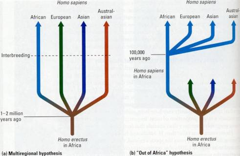 the origins of homo sapiens multiregional theory vs out of africa theory Supports the multiregional hypothesis however, out of africa humans multiregional origin of homo sapiens ventured out of africa around.